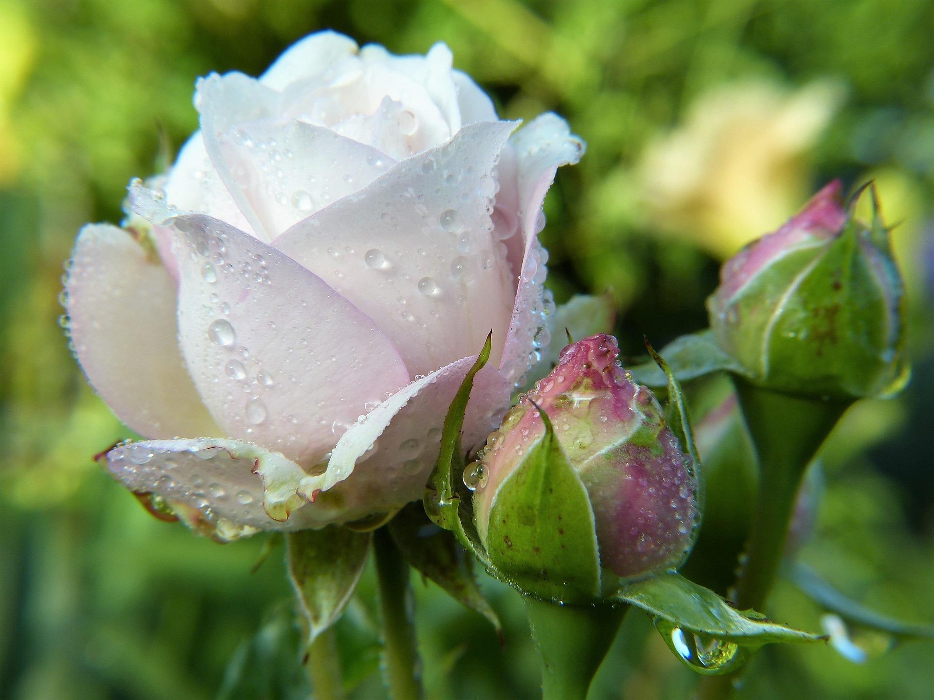 Rose 2634474 1920