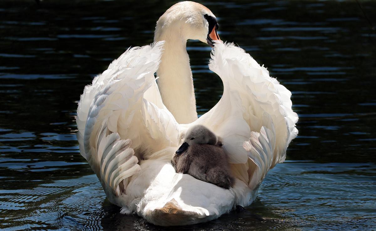 Swan 2350668 1920