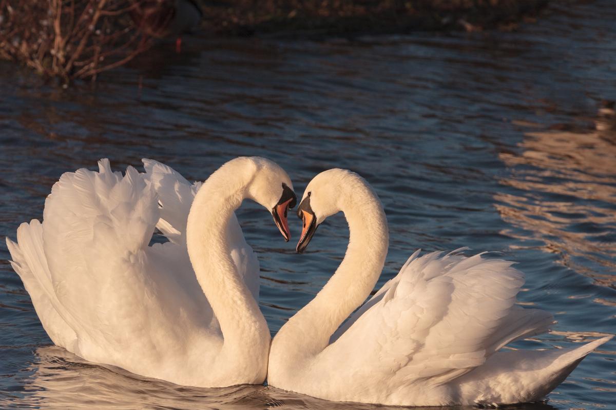 Swans 2116649 1920