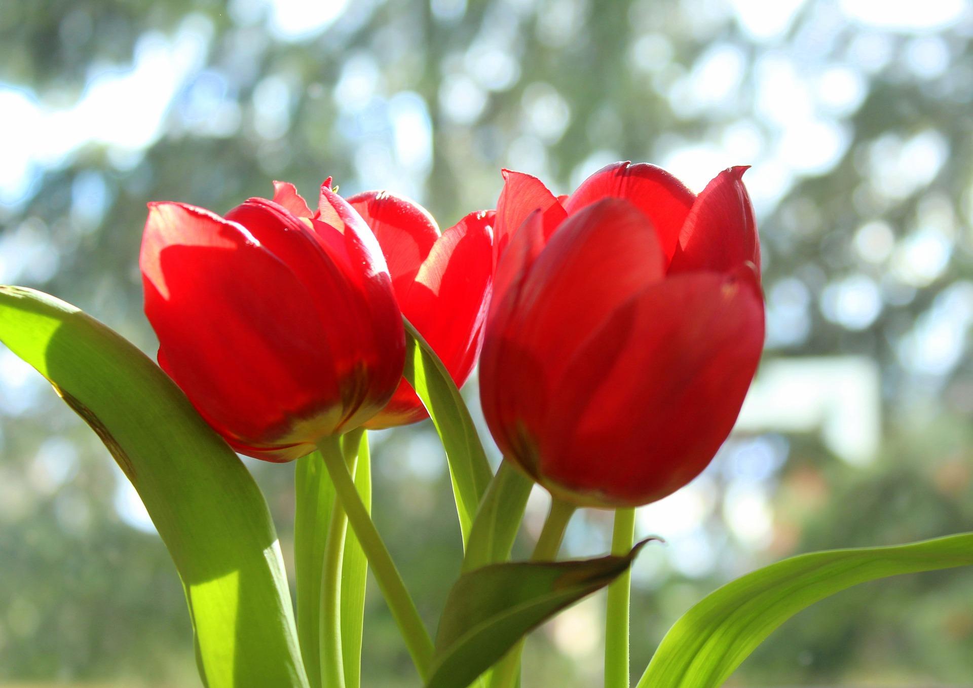 Tulips 4064896 1920