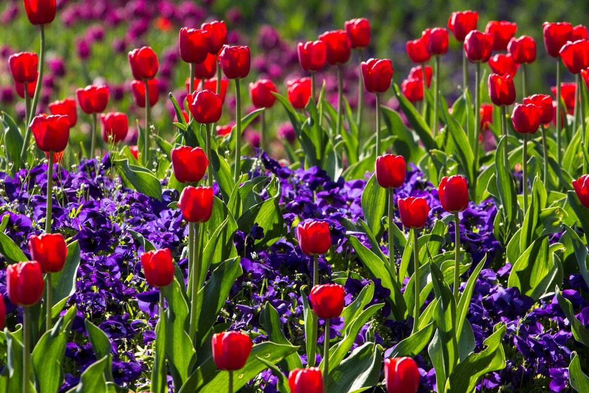 Tulips 757144 1920