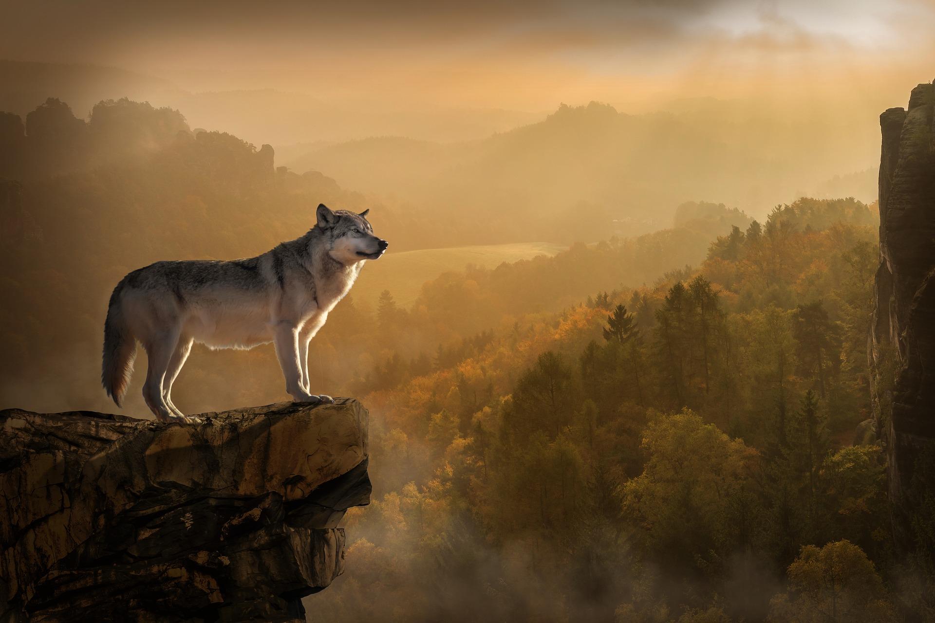 Wolf 3158282 1920